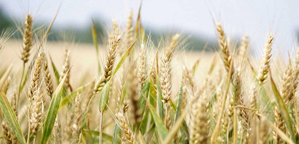 pennsylvania-corn-fields